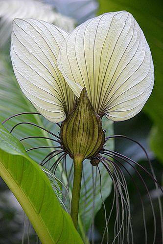 White Bat Flower... parachute of the plant world! | por jungle mama