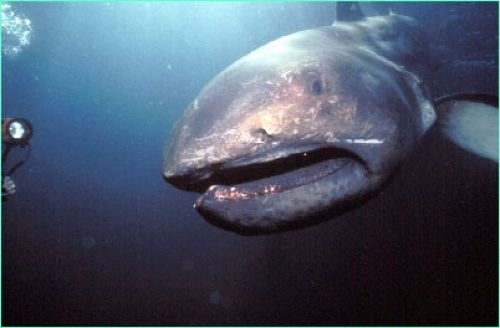 Megamouth Shark-only a few of this species are known and seeing one is a rarity.