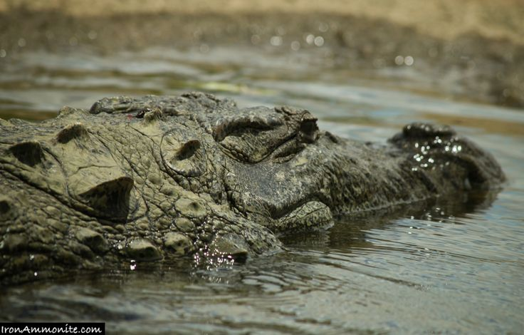 mugger crocodile | Mugger Crocodile