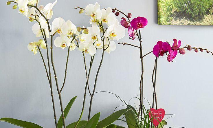 Prendre soin de son orchidée Longtemps, les orchidées ont été des plantes rares. Aujourd'hui, elles sont devenues un élément de décoration indispensable dans nos intérieurs. La floraison des orchidées dure souvent plusieurs semaines, une des plus longue est celle des Phalaenopsis. On compte une variété très importante vivement colorées (Oncidium, Miltoniopsis,...), intrigantes par leurs formes (sabot de Vénus, Cattleya...), et même parfumées (Dendrobium, ...