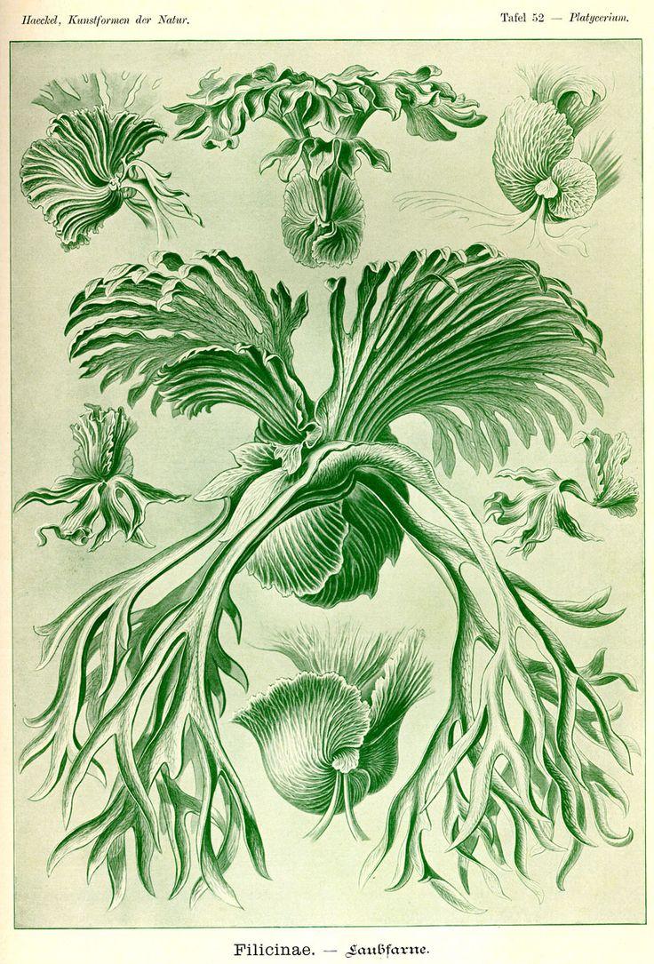 Filicinae illus. by Ernst Haeckel; Kunstformen der Nature, 1990