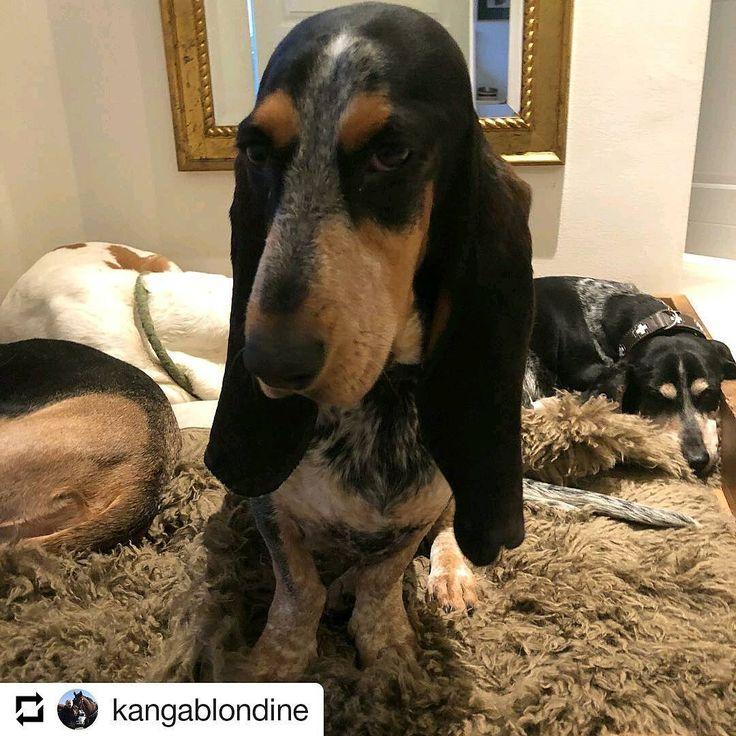 Des nouvelles du Danemark 🇩🇰 MIMI DE BORDEAUX d'An Naoned 💕 Femelle Basset bleu de Gascogne née le 01/12/16 (Houston d'An Naoned x Hamio d'An Naoned) 📷 La famille Gjerde  #basset #bassetbleudegascogne #bbg #bassetlife #adorable #dog #hund #cani #pet #bordeaux #denmark #travel #dogpics #dogportrait #doglove #hyggelig #hygge #dogmasternews #cute #mimidebordeaux