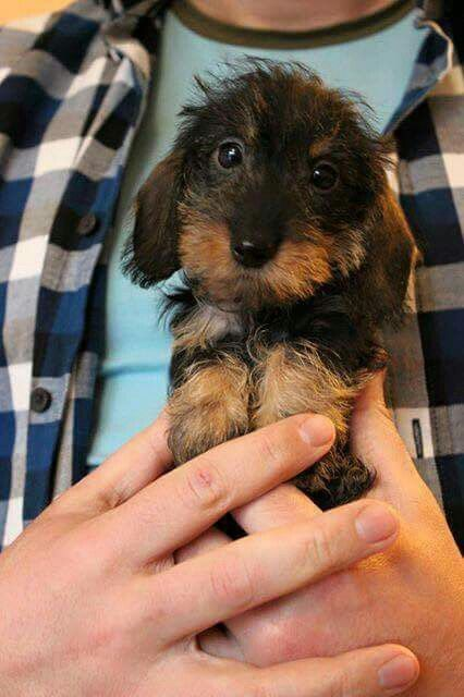 "This baby is as small as the hand of his master. The puppy ""Timmy"" live in Indianapolis, United States."