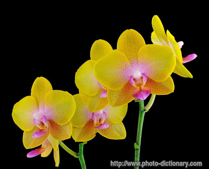 phalaenopsis orchid - Bing Images