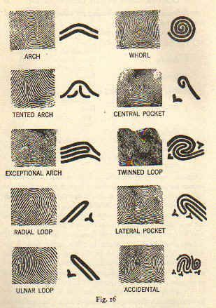 Fingerprint features. Classification of dernmatoglyphic patterns as used within forensic science.