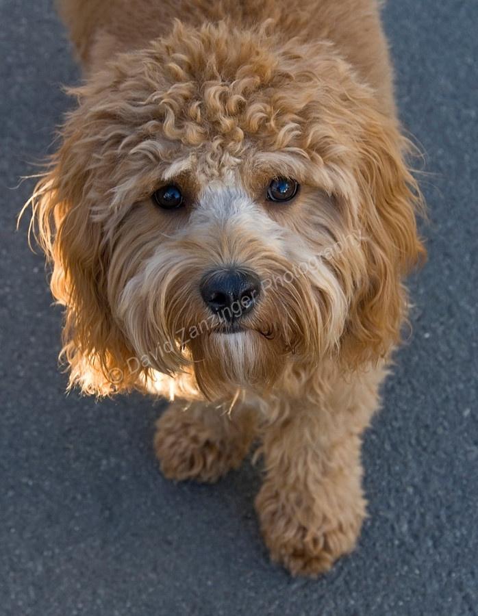 Cavapoo dog, Cavalier King Charles Spaniel, Poodle
