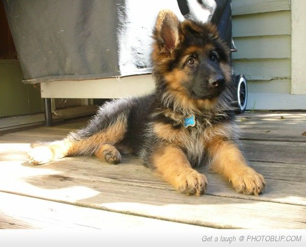 Gorgeous long haired German Sheppard