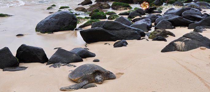 LANIAKEA BEACH (Oahu) — Hundreds of people come to Laniakea Beach (Turtle Beach) everyday with hopes of seeing green sea turtles!