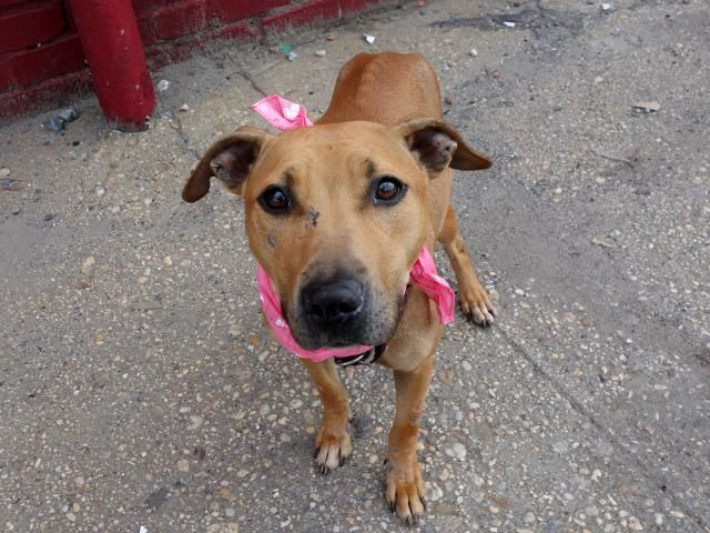 DIAMOND - ID#A0998206  I am a spayed female, tan Pit Bull Terrier mix.  The shelter staff think I am about 3 years old.  I weigh 37 pounds.
