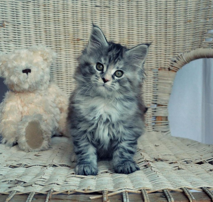 what a sweet kitty !  <3 <3   from Alwaro Maine Coon Cattery