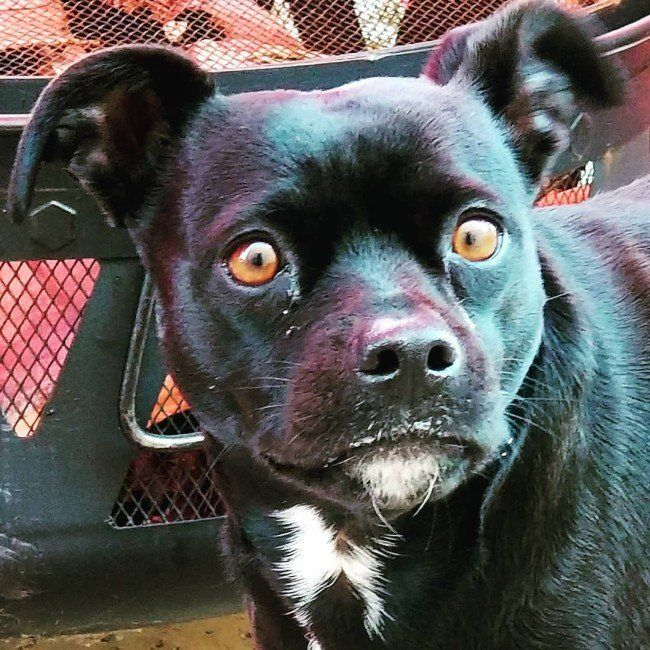 Pitbull Chihuahua Mix Chipit A Quice Guide About Temperament