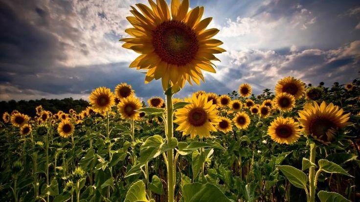 Superlative  Sunflowers