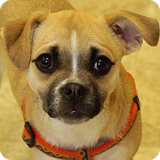 Sprakers, NY - Pug/Chihuahua Mix. Meet Abby, a dog for adoption. http://www.adoptapet.com/pet/17706344-sprakers-new-york-pug-mix