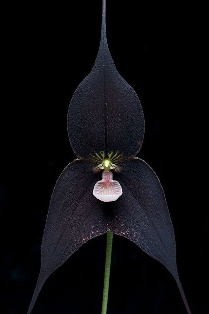 Dracula Raven Orchid                                                                                                                                                      More