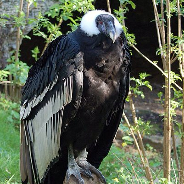 The Andean Condor is a national symbol of Peru, Argentina, Bolivia, Chile, Colombia, and Ecuador, and plays an important role in the folklore and mythology of the Andean regions.