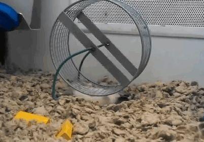GIf: Hamster ingenioso!
