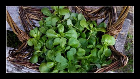 Deși, cel mai adesea, grășița este considerată o buruiană care invadează grădinile sau straturile de legume, ea este o plantă comestibilă, gustoasă și sănătoasă, potrivită ca adaos în nenumărate preparate, atât crudă, cât și gătită. Cunoscută mult mai bine...