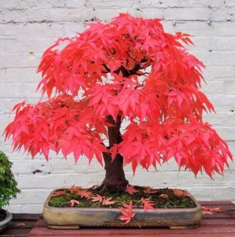 Maple Tree Seeds 20pcs/pack Maple Seeds Bonsai Blue Maple Tree Japanese Maple Seeds Balcony Plants For Home Garden
