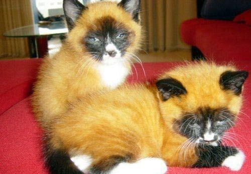 Looks like a fox but they are cats!!!!