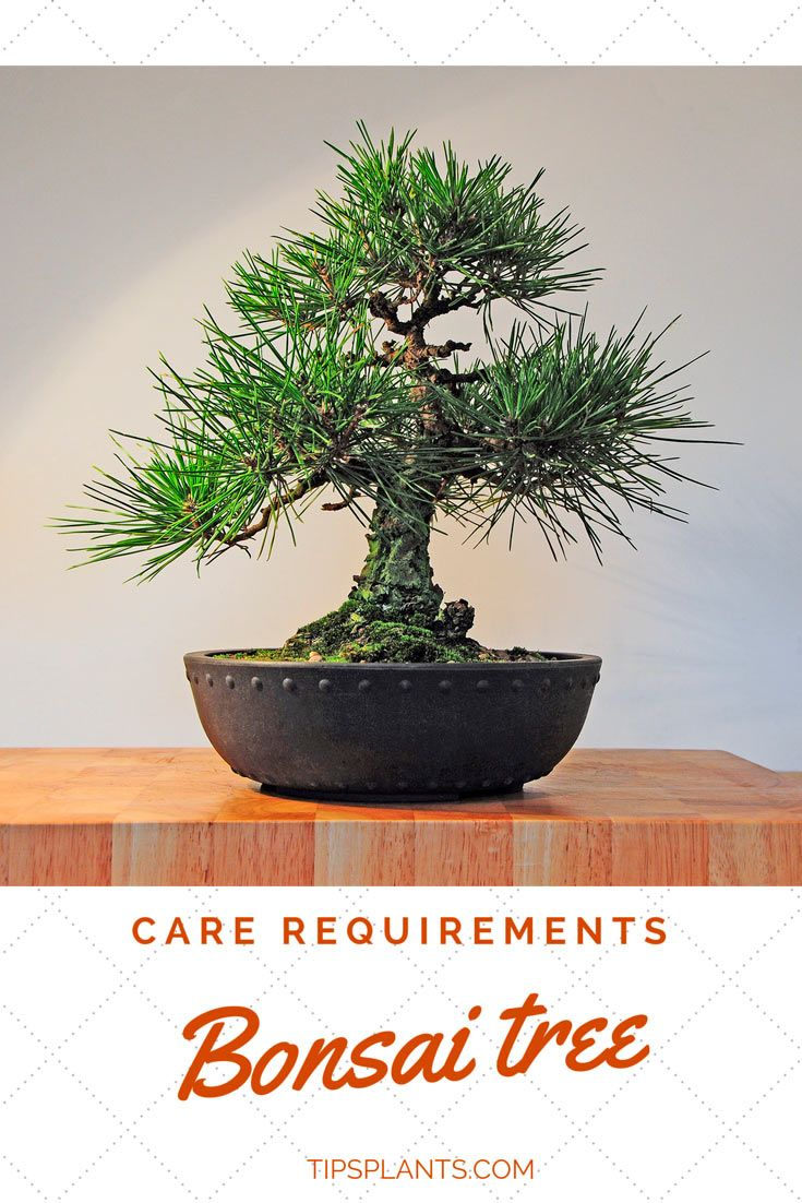 How to bonsai trees for beginners - 25 Unique Bonsai Tree Care Ideas On Pinterest Bonsai Tree Near Me Bonsai Trees And Bonsai
