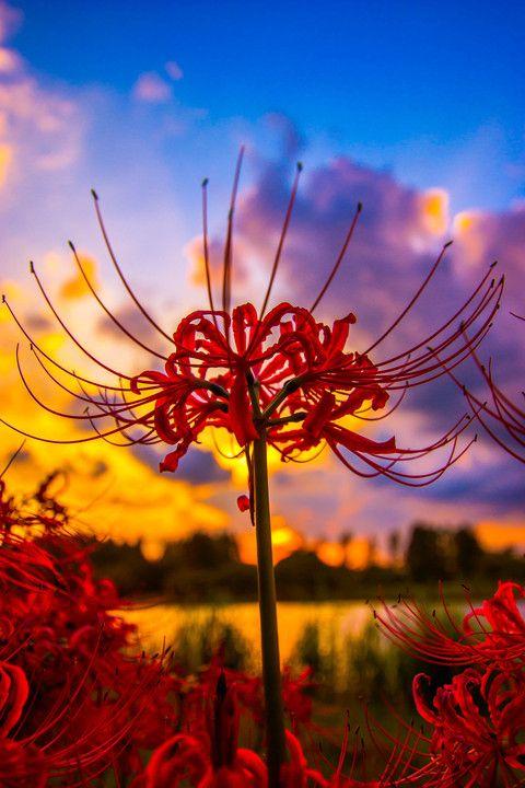 Cluster amaryllis - Japanese flower