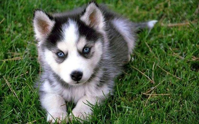 Saarloos Wolfdog Malamute Puppy