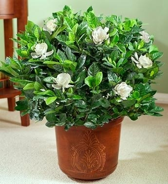 inspiring gardenia house plant. Gardenia Floor Plant for Sympathy 171 best  Gardenias images on Pinterest White