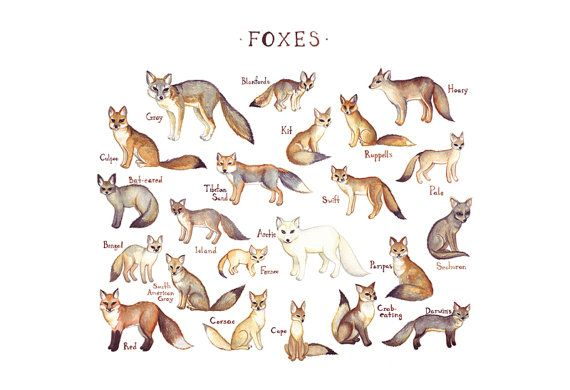 Foxes of the World Field Guide Style Watercolor Painting Fox Art Print @Erin B Duncan Fox