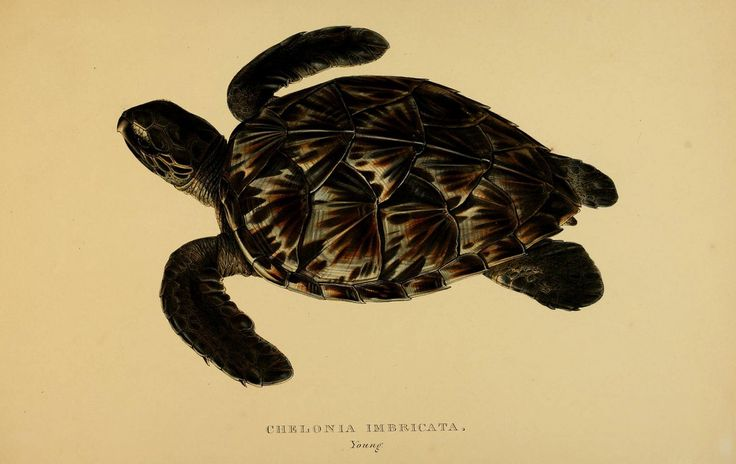 Tortoises, terrapins, and turtles London, Paris, and Frankfort :H. Sotheran, J. Baer & co.,1872.  biodiversitylibrary.org/page/2948441  Hawksbill Sea Turtle 1 of 3 critically endangered sea turtle sp. C it in #bhlib biodiversitylibrary.org/page/2948441. More on sea turtles www.oceanrealmimages.com/blog/27/04/11/turtle-tails-biolo...