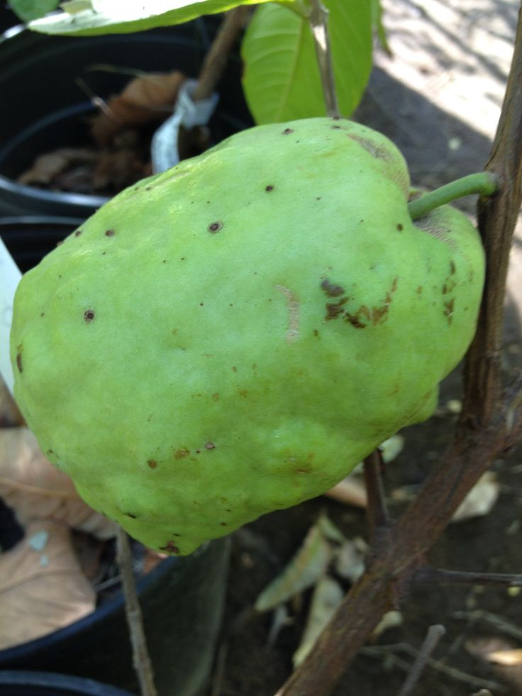 Giant Asian White Guava Grow At The Best Exotic Nursery