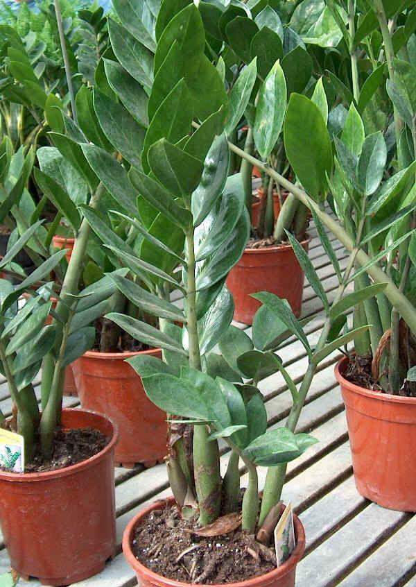 Les 66 meilleures images du tableau zamioculcas plants sur for Zamioculcas exterieur