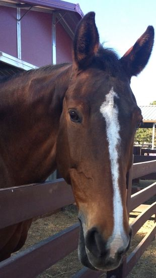 Pilot project tests equine therapy for people with early-onset dementia | News | Palo Alto Online |