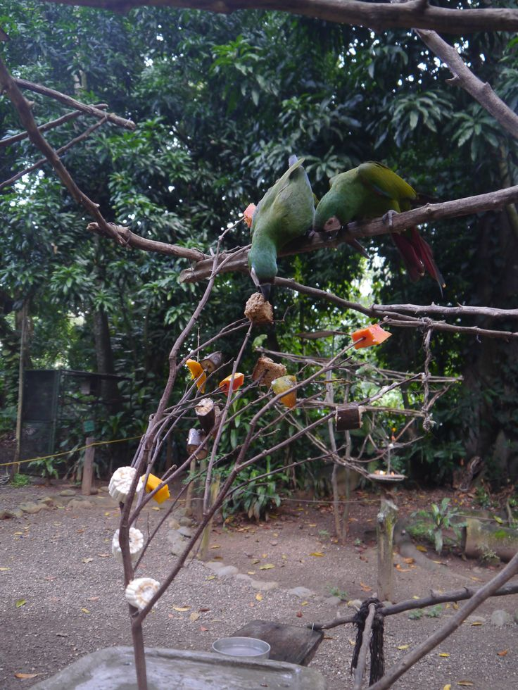 The macaws interact with their enrichment activity.