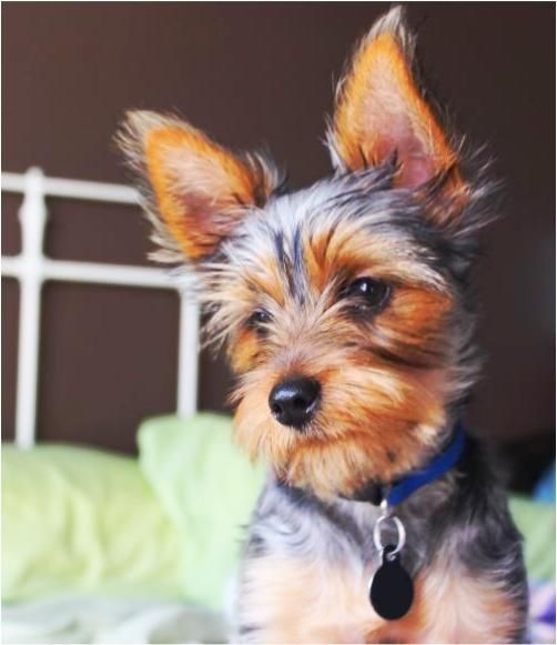 How to Groom a Yorkshire Terrier (with Pictures) - wikiHow