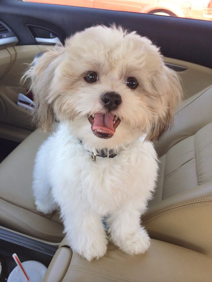 Maltese shih tzu mix. Pretty sure kahlua is this mix  Repin, my next dream dog.