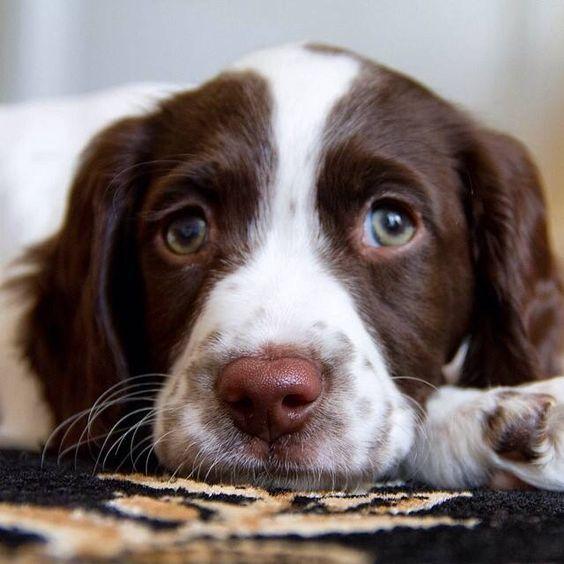 English Springer Spaniel Pup ~ Classic Look