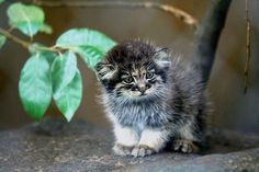 Adorable pic of a Palla's cat kitten! The palla's cat species is thought to be the oldest wild cat species! pic.twitter.com/Zou8q2wODp