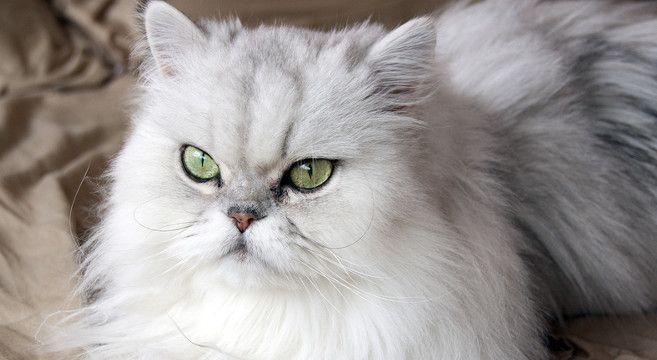 gatto persiano chinchilla - Cerca con Google