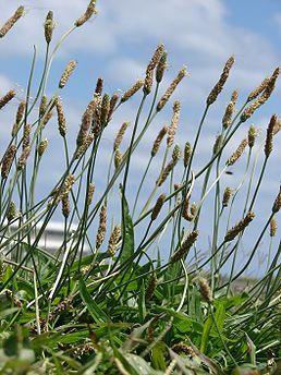 Jitrocel, Jitrocel kopinatý,  je rod rostlin patřící do čeledě jitrocelovité (Plantaginaceae).