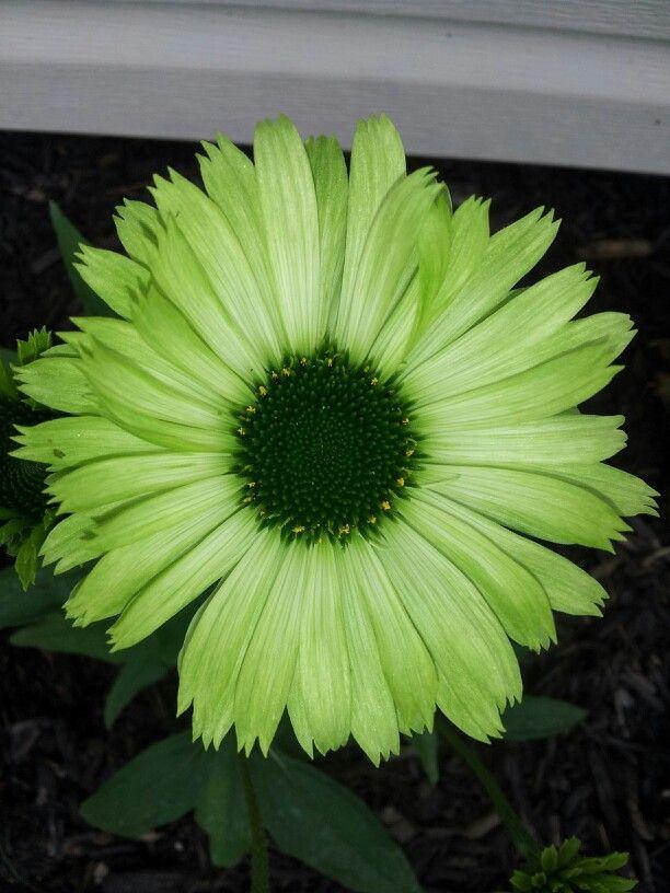 Echinacea green jewel vivace plein soleil hauteur 1 - Fleurs d ete plein soleil ...