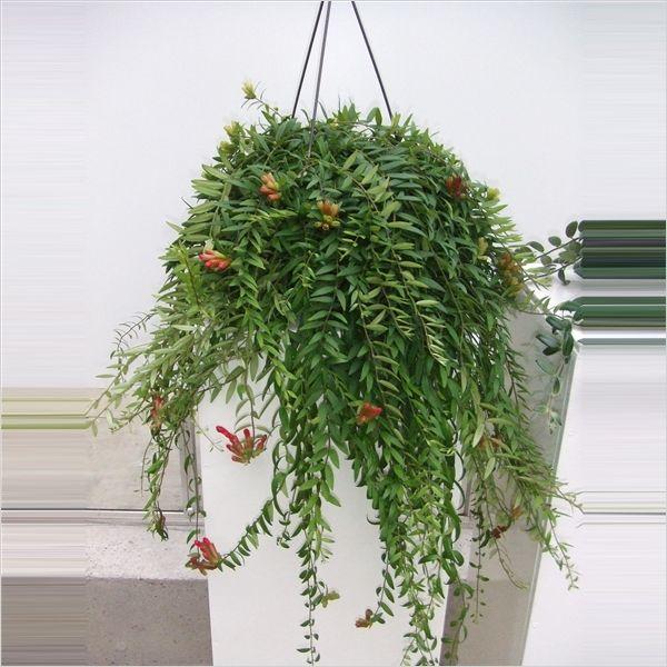 aeschynanthus japhrolepis lipstick plant lipstick vine lipstick planthanging plantsindoor