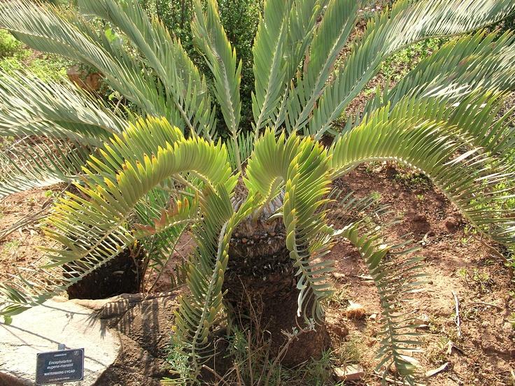 Encephalartos Eugene-Maraisii Waterberg Cycad) located in Walter Sisulu Botanical Gardens