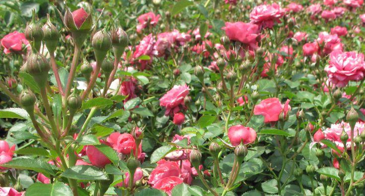 Kinders van die wind roosLudwigs Roses