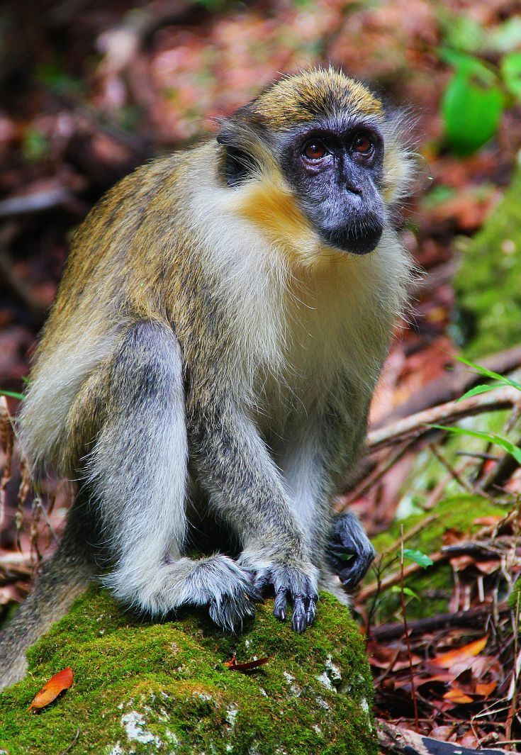 Green monkey in the Grenade Hall Forest