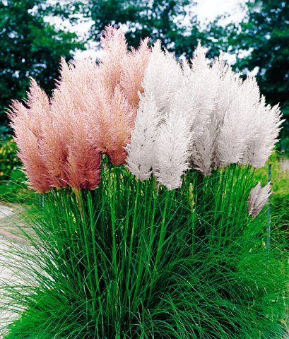 2 CORTADERIA PAMPASS GRASS GARDEN PLANTS IN POTS 1 WHITE 1 PINK