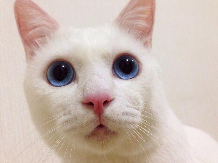 イラストレーターのminoさん家の白猫「雪(セツ)」ちゃん。なんとも美しい顔立ちをした男の子です。