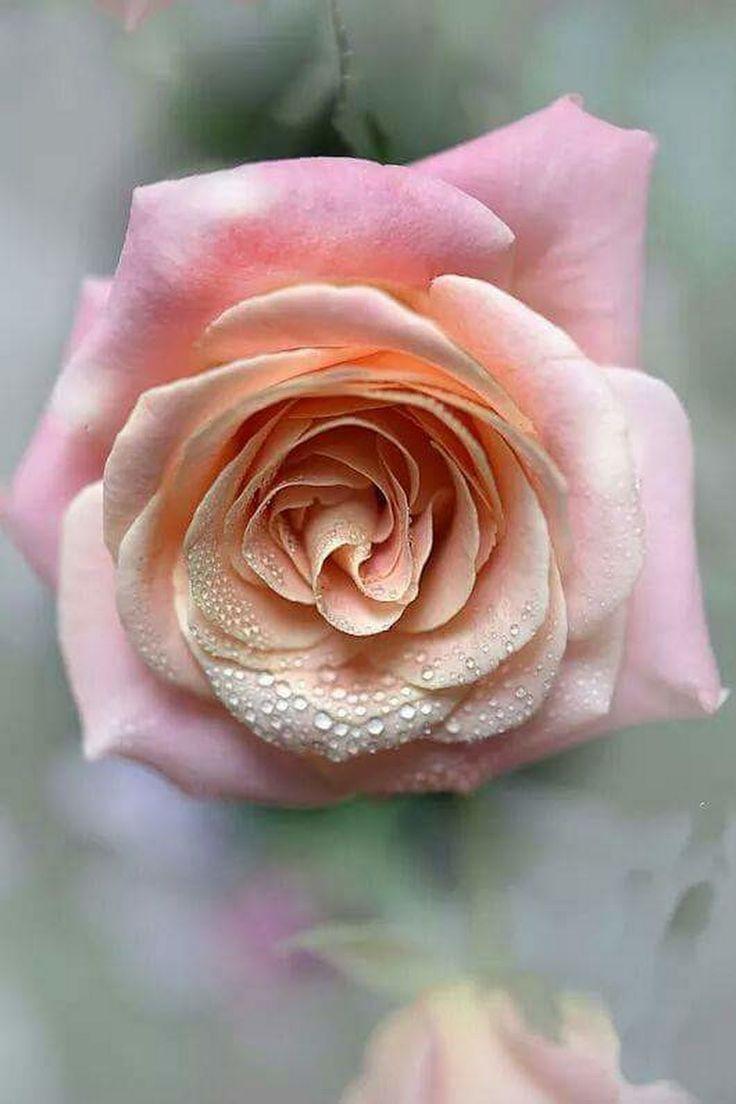уже упоминал красивая картинка цветов чайная роза строительства