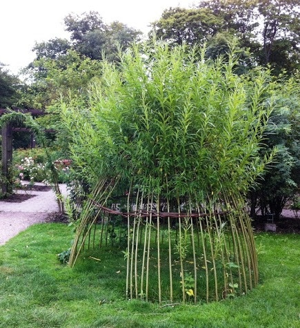 I'm thinking this would be an excellent play structure / hawk-hide for my chicken's yard. It would grow well in the low damp area on the east side, bonus, they can't climb it if I keep lower sprouts trimmed off. Living willow