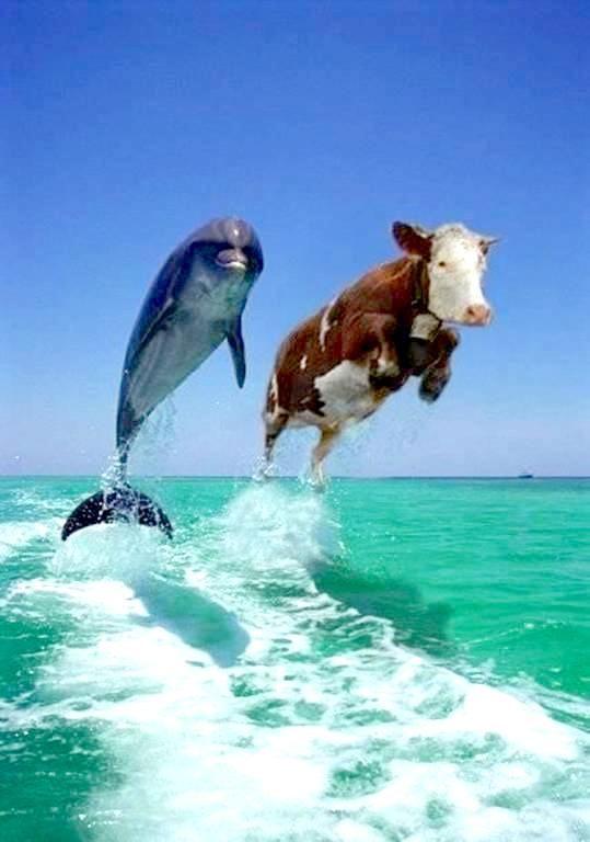 Delfino e Mucca