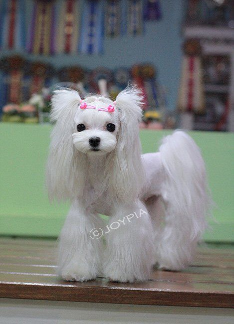 maltese dogs haircuts 119 best maltese images on cat 5725